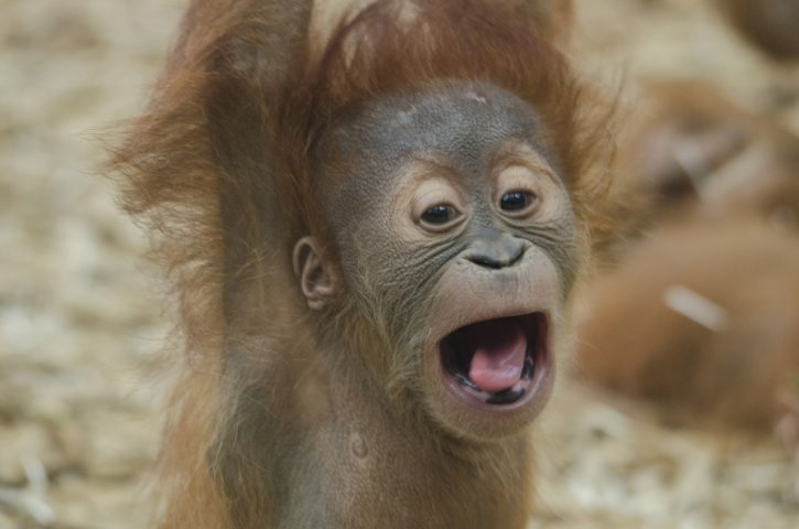 Baby orangutan in Borneo - Southeast Asia Travel