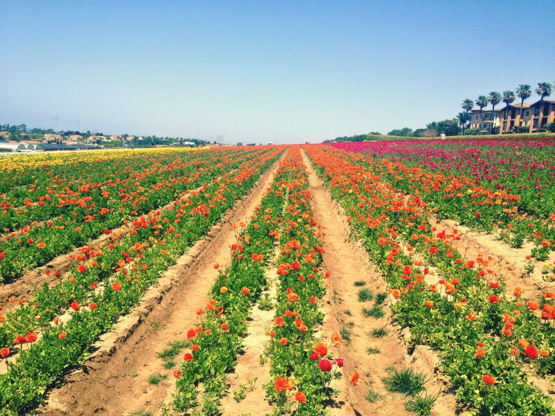 unique things to do in southern california - flower fields in carlsbad