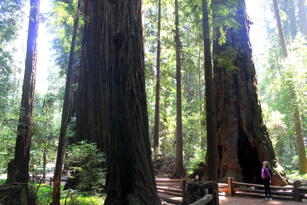 Henry Cowell State Park - old growth forest