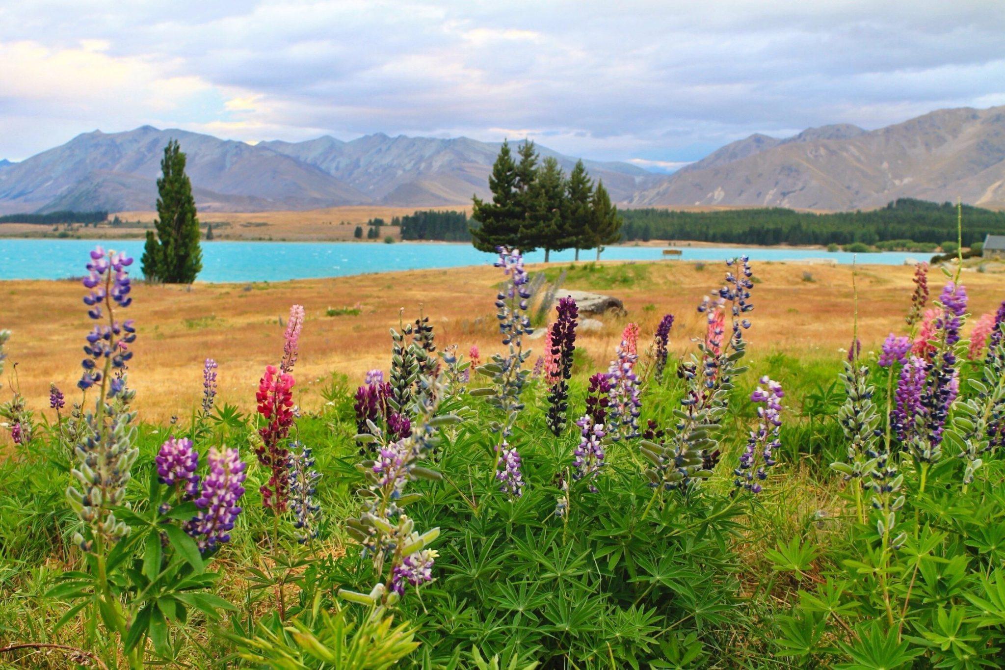 Lupin at Lake Tekapo, New Zealand