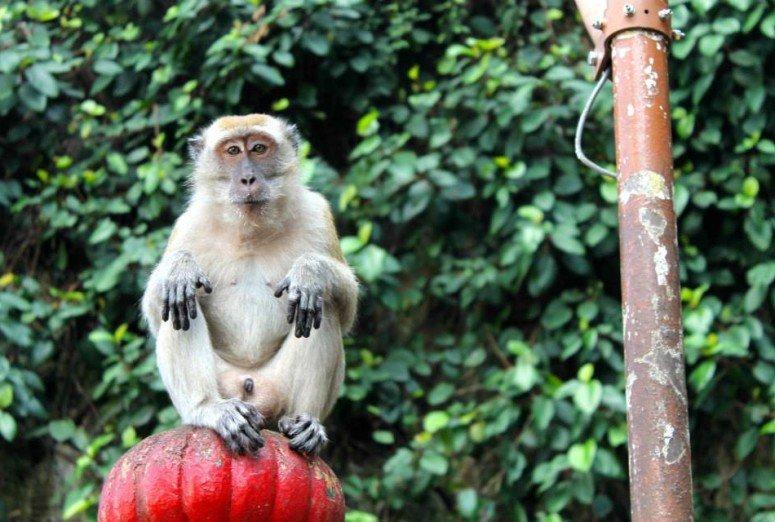 Monkey in Kuala Lumpur, Malaysia
