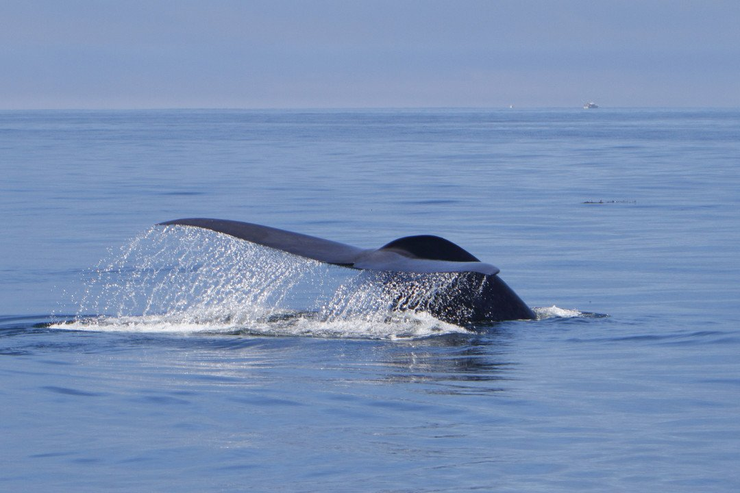 Activities in Santa Cruz, Whale Watching in the Monterey Bay, California