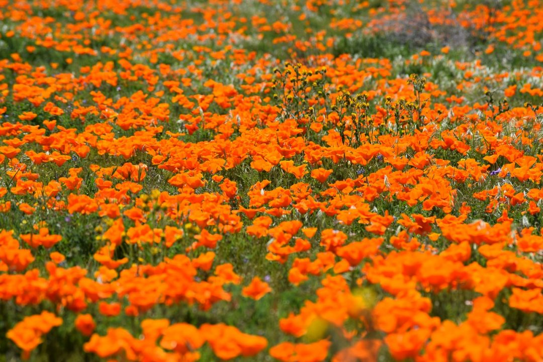 Antelope Valley Poppy Reserve | Central California Things to Do