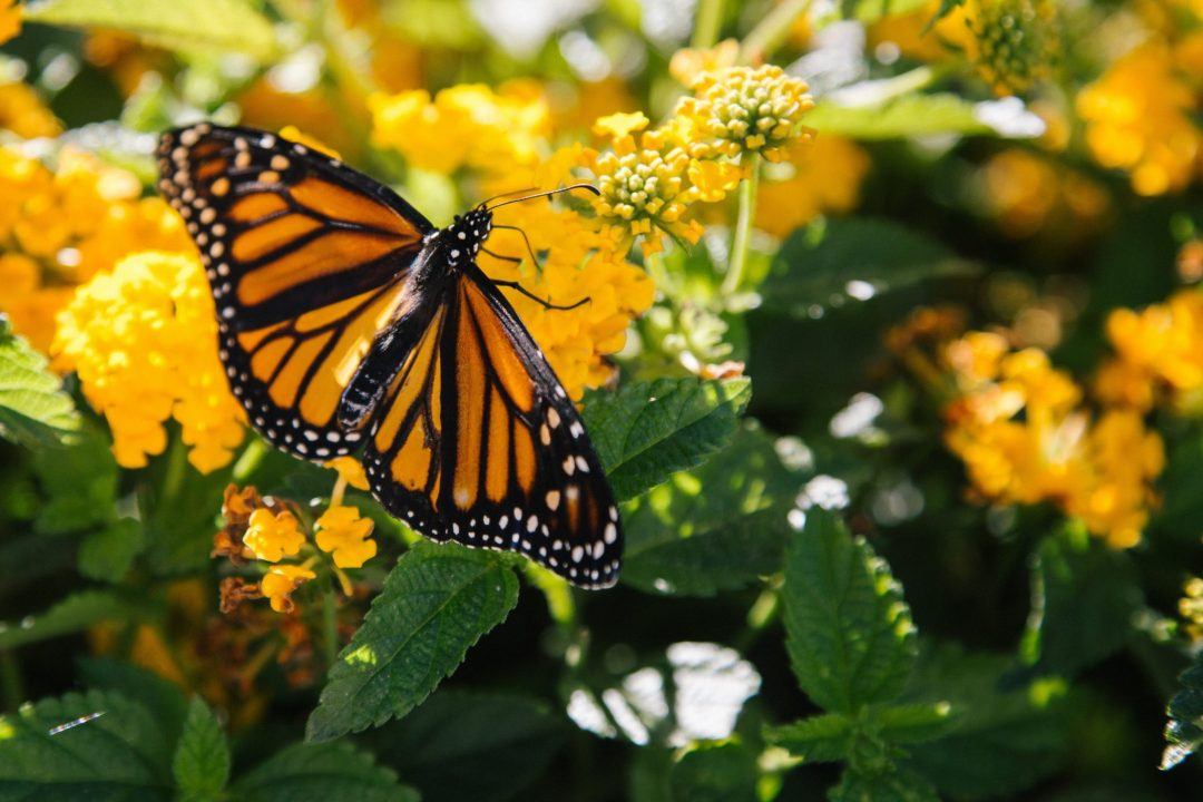free things to do in santa cruz - monarch butterflies at natural bridges state park