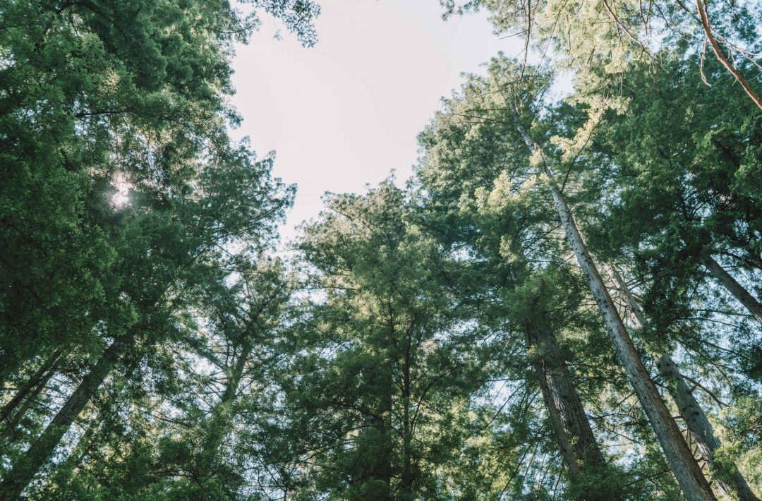big basin hiking - redwood grove loop trail