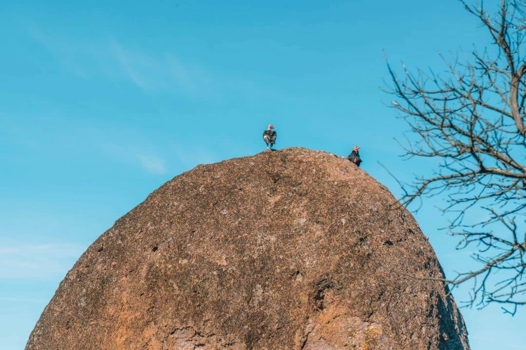 california condors - pinnacles attractions