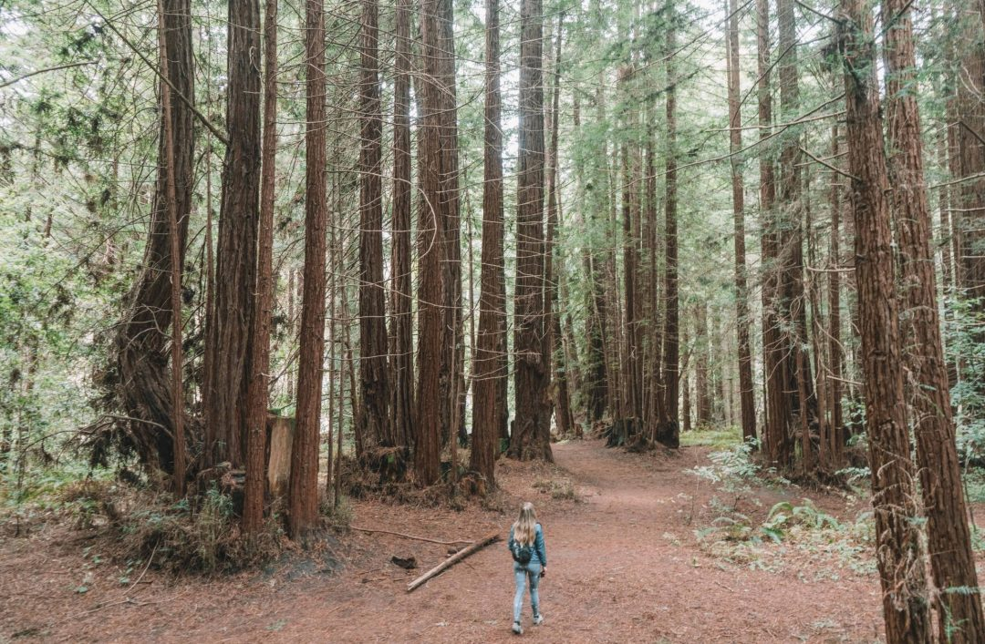 old growth loop trail at nisene marks state park