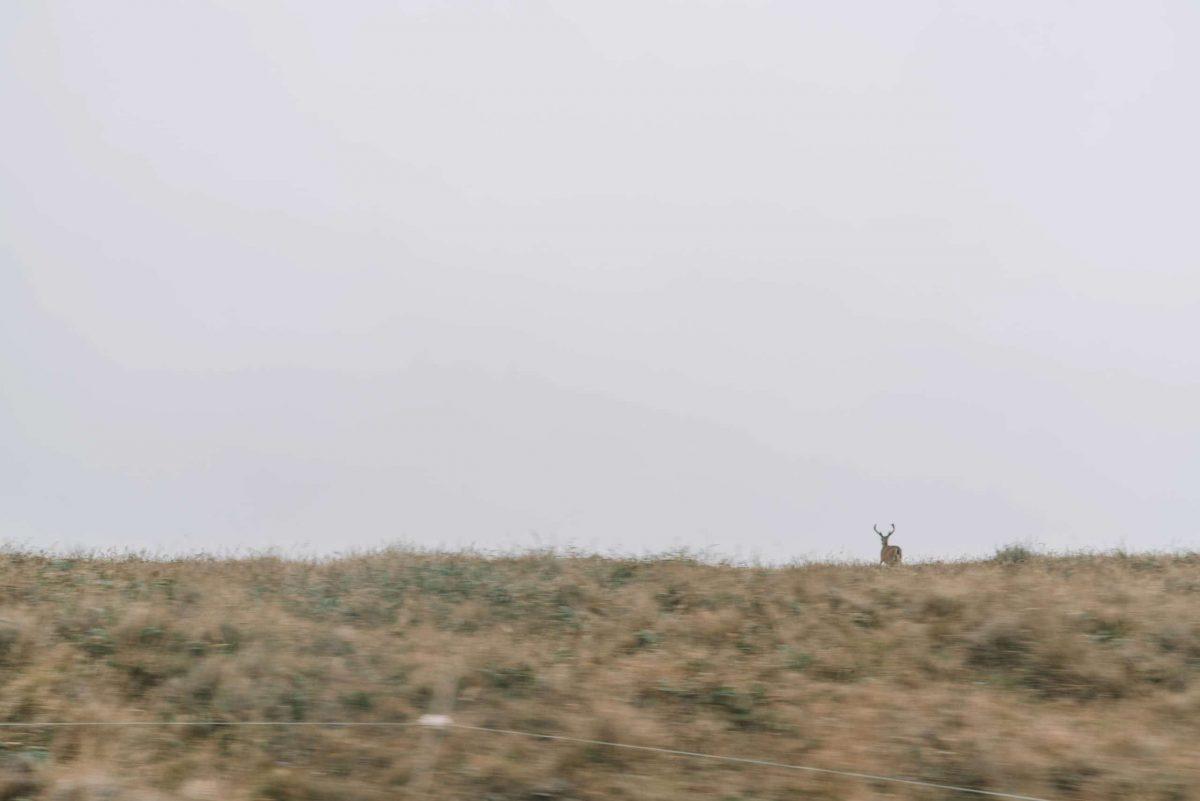 Tule Elk in the Point Reyes area